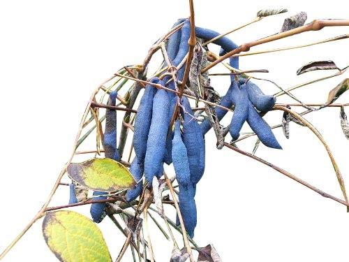 Blaugurkenbaum -Decaisnea fargesii- 10 Samen