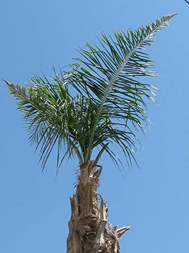 Australische Carpenteria Palme -carpentaria acuminata- 10 Samen