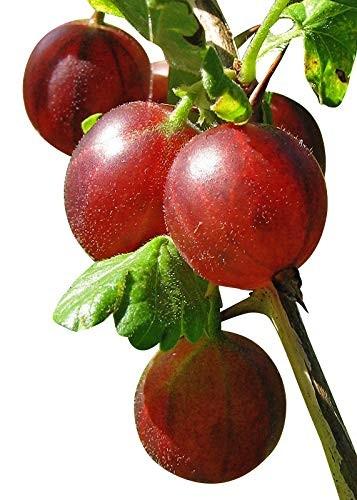 Stachelbeere -Ribes uva-crispa - 10 Samen
