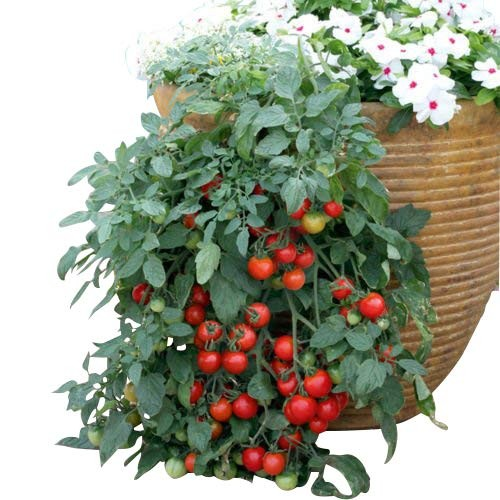 Hänge Tomate -TUMBLER- 10 Samen -