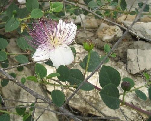Echter Kapernstrauch -Capparis spinosa- 10 Samen