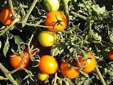 Tomate -Sun Drop- 10 Samen