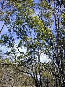 Akazie -Acacia mangium- 10 Samen