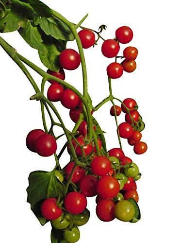 Balkontomate -Rote Kirsche- 10 Samen