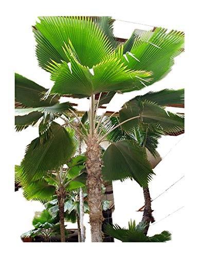 Fiji Fan Palm -Pritchardia thurstonii- 10 Samen