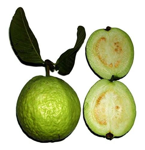 Echte Guave -Psidium guajava- 100 Samen