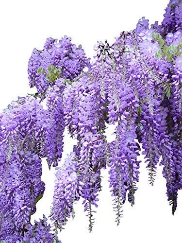Blauregen -Wisteria sinensis-  100 Samen