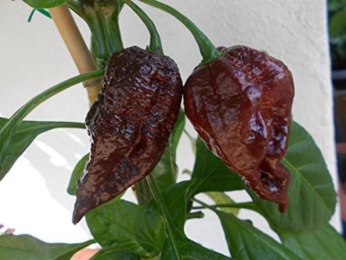 Trinidad Scorpion Chocolate 10 Samen