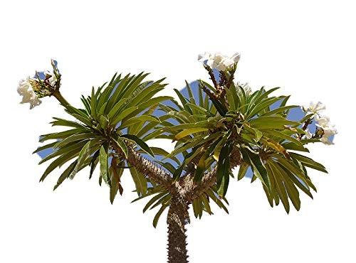 Madagaskar Palme 10 Samen -pachypodium lamerei-
