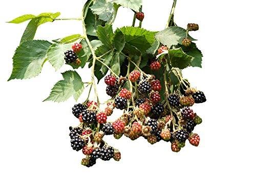 Brombeeren -Rubus sectio Rubus- 10 Samen