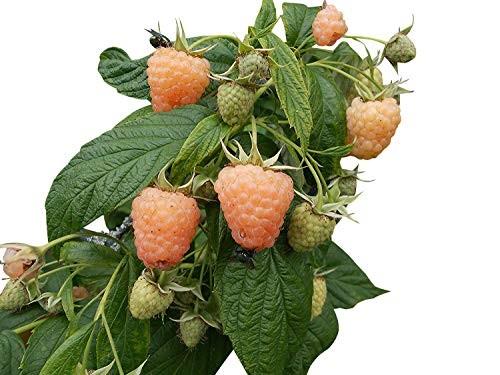 Himbeeren Gelb -Rubus idaeus- 10 Samen