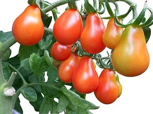 Tomate -Cerveny Fik- 10 Samen