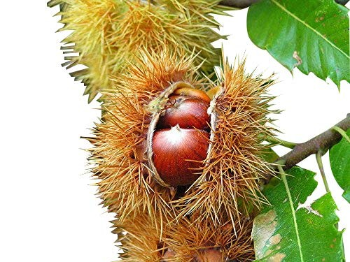 Esskastanie , Edelkastanie -Castanea sativa- 8 Samen