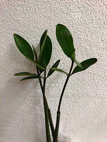 Große Pflanze der roten Mangrove -Rhizophora mangle-