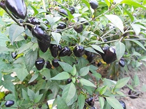 Violette Chili -Purple Ball- 10 Samen