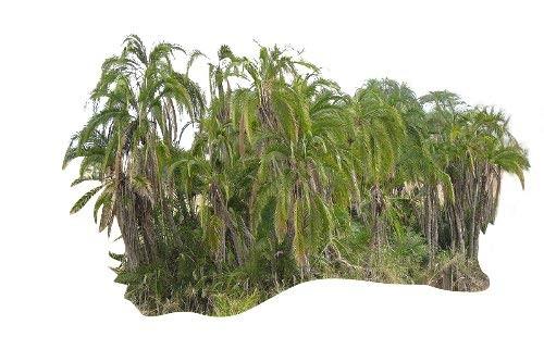 Senegaldattelpalme -Phoenix reclinata- 10 Samen