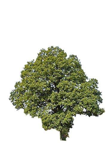 Traubeneiche -Quercus petraea- 20 Samen