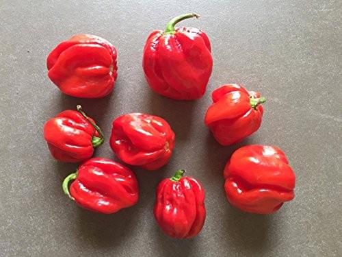 Chili ''Congo Trinidad Red'' 10 Samen