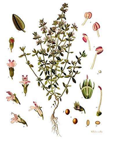 Echter Thymian -Thymus vulgaris- 100 Samen