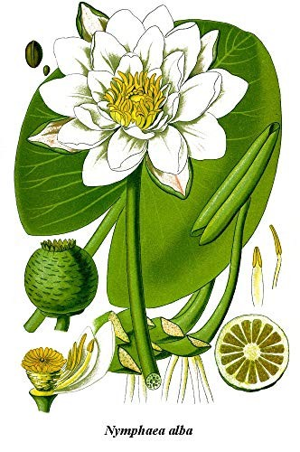 Tropische Weiße Seerose 10 Samen
