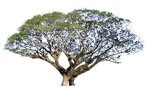 Regenbaum -Samanea saman- 10 Samen