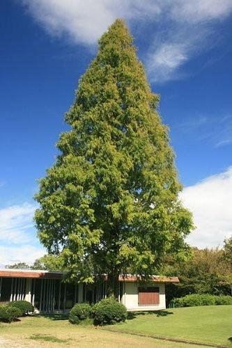Urweltmammutbaum -Metasequoia glyptostroboides- 1000 Samen