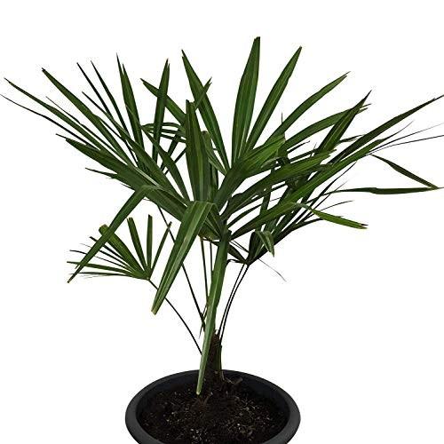 Hanfpalme 80-100cm **Trachycarpus fortunei** ***Winterhart***
