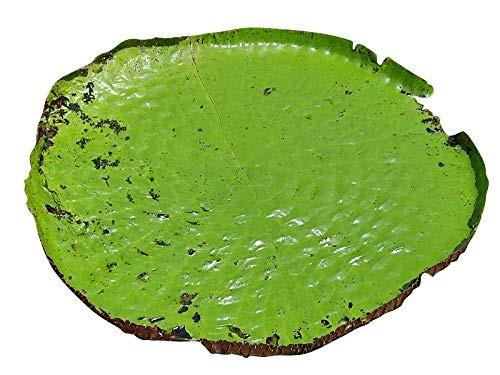 Riesen Seerose -victoria amazonica- 4 Samen