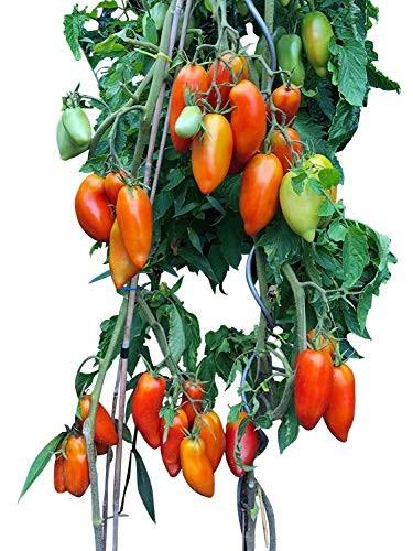 Tomate -Andenhorn- 10 Samen