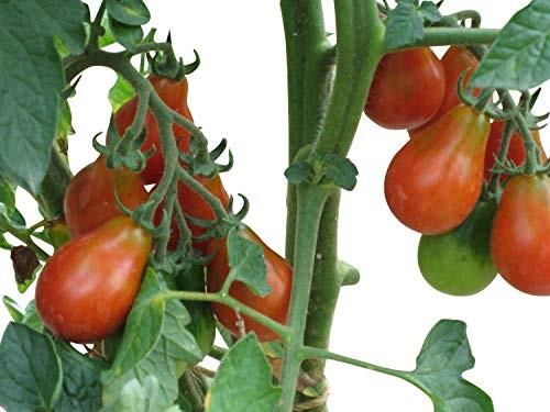 Tomate -Rotes Birnchen- 10 Samen