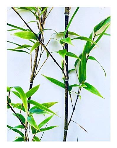 Chocolate Bambus -fargesia gaolinensis- 15 Samen
