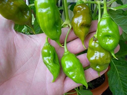 Trinidad Scorpion Green 10 Samen