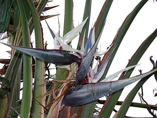 Strelitzia Nicolai 10 Samen