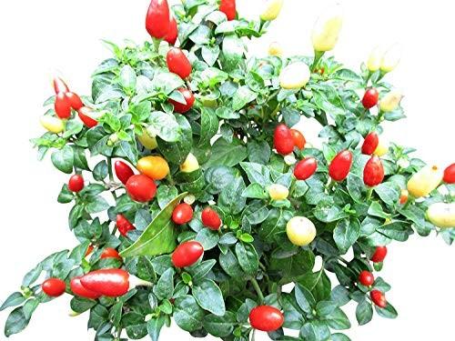 Balkon Chili 10 Samen
