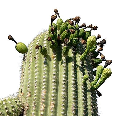 Riesen Kaktus Carnegiea gigantea Saguaro 15 Samen