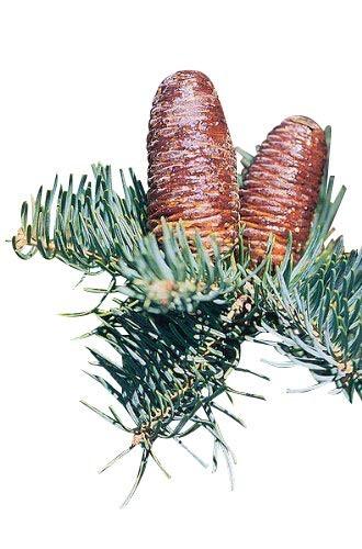 Blaue Kolorado Tanne -Abies concolor- 10 Samen