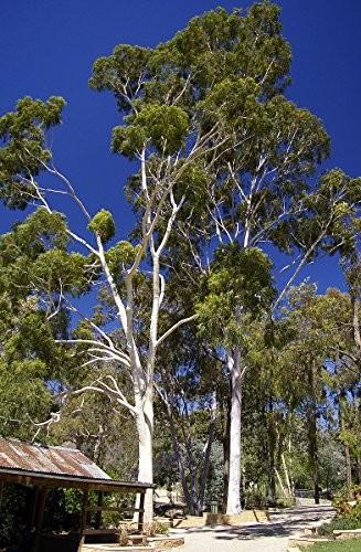 Zitronen Eucalyptus -Eucalyptus citriodora- 100 Samen