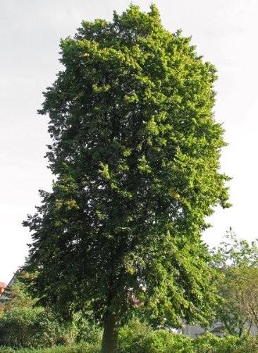 Sommerlinde -Tilia platyphyllos- 20 Samen