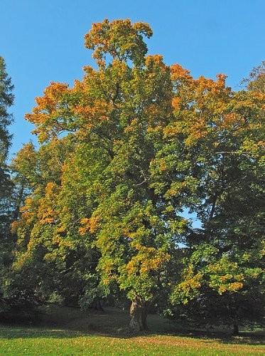 Spitzahorn -Acer platanoides- 50 Samen