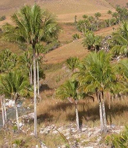 Neue -Madagaskar Palme- ''Beccariophoenix alfredii'' 4 große Samen -Frosttollerant-