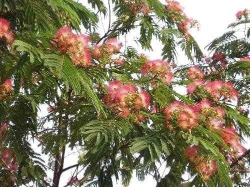 Mimosenbaum -albizia julibrissin- 1000 Samen