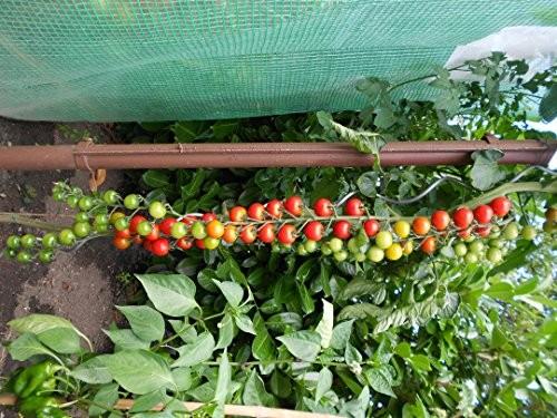Freiland Cherrytomate 10 Samen
