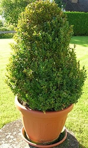 Gewöhnliche Buchsbaum-(Buxus sempervirens- 15 Samen