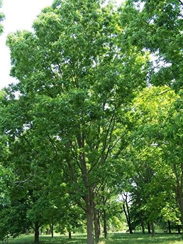 Pekannussbaum -Carya illinoinensis- 3  Samen