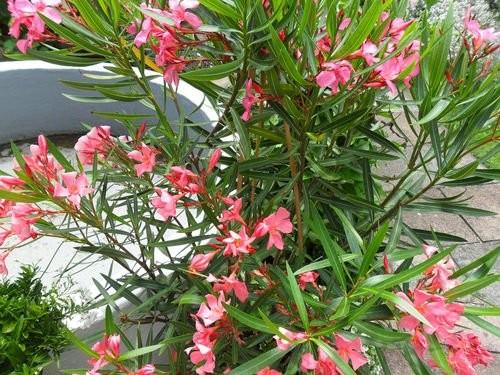 Oleander Pink -Nerium Oleander- 8 Samen