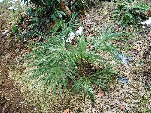 Washington Palme -Washingtonia filifera- 10 Samen