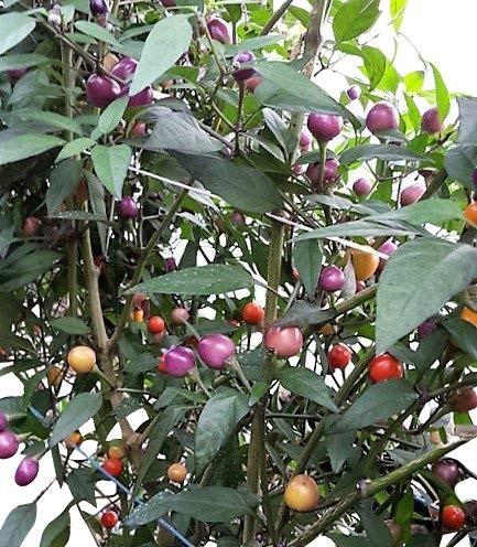 Pretty in Purple 10 Samen