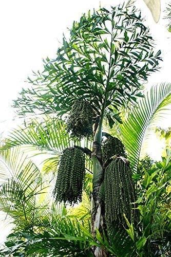 Fischschwanz-Palme -Caryota- 10 Samen