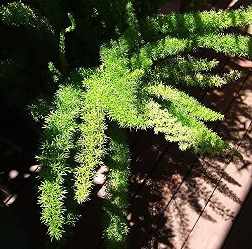 Zierspargel -asparagus aethiopicus - 10 Samen