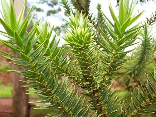 Brasilianische Araukarie -Araucaria angustifolia- 2 Samen